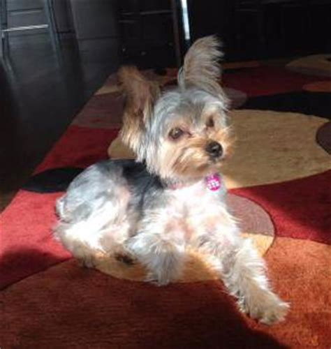 yorkie behavior yorkie temperament behavior personality