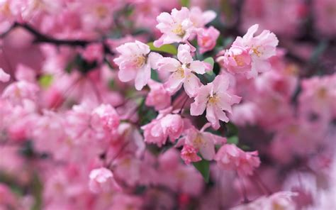 cherry blossom images wallpapers cherry blossom