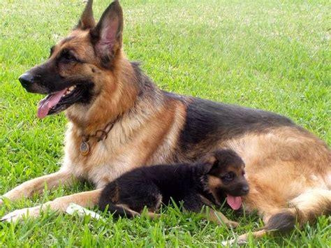 alimentazione pastore tedesco cucciolo cuccioli pastore tedesco in regalo cuccioli cani