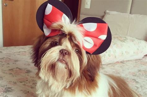 shih tzu bow 18 breeds that are least likely to listen to you