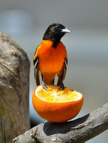 oriole on an orange there were always oranges on my mom