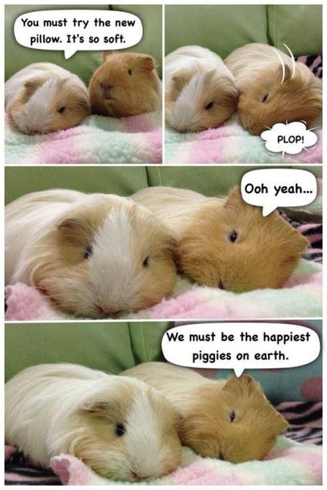 Guinea Pig Meme - guinea pig meme tumblr