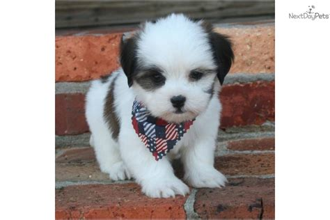 havashu puppies havanese puppy for sale near louisiana 4d5f2c5d 58a1