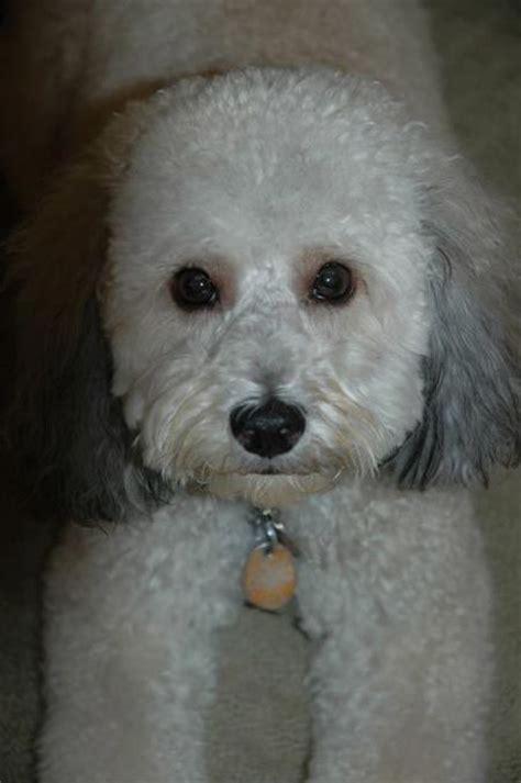 bichon poodle rescue indiana bichon poodle mix dogs poodle mix poodle