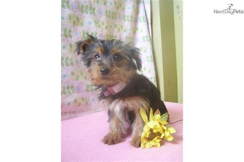 yorkie puppies new jersey terrier yorkie puppy for sale near jersey new jersey 5bbf5502 45f1