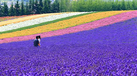 World Beautiful Places by Lavender Hokkaido Colorful Fields Of Flowers Planted At
