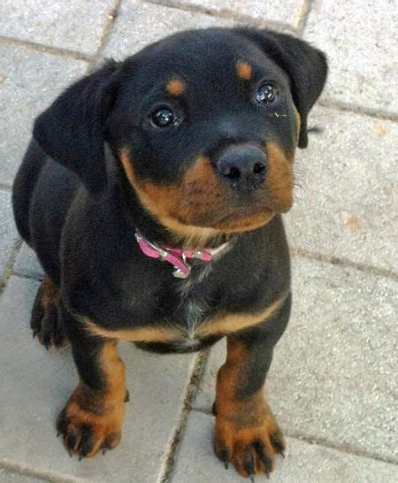 baby rottweiler pictures best 25 rottweiler pictures ideas on rottweiler rottweiler and