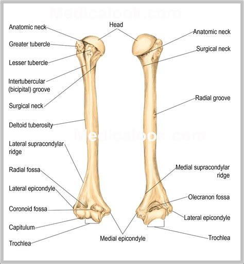 anatomy of a anatomy of humerus graph diagram