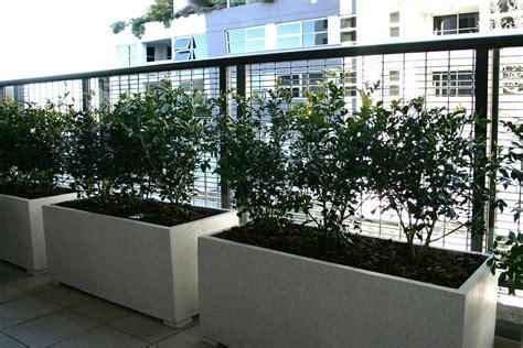 Balcony Screening Plants by Murraya Classic Plants The Urban Balcony