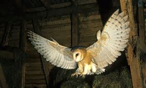 Barn owl species has its best ever breeding season in 2014