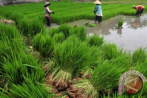 Bibit Padi keuntungan tanam padi sawah rp4 5 juta hektare antara news