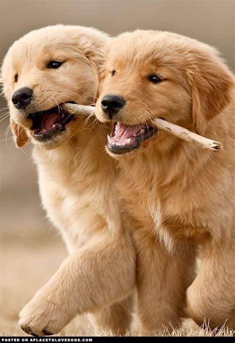 adorable golden retriever puppies adorable golden retriever puppies puppies