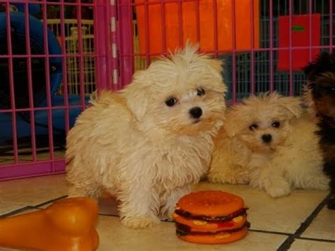 maltipoo puppies for sale nc maltese puppies dogs for sale in carolina nc greensboro