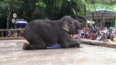 Maxy Gajah atraksi gajah di taman safari indonesia
