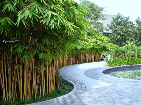 jual pohon bambu kuning bambu panda taman minimalis
