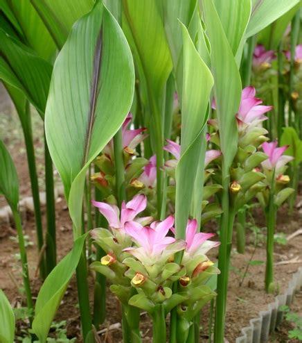 Jual Tanaman Kayu Urip Kaskus tanaman temulawak jual tanaman hias