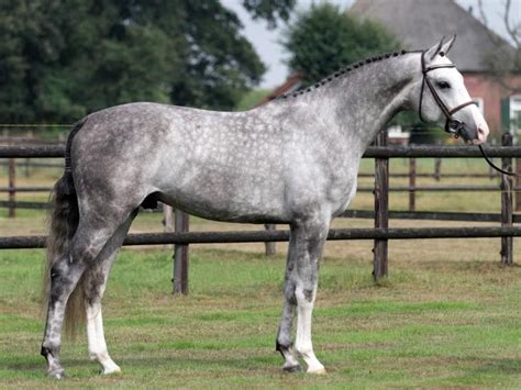 sle of grey dapple grey warmblood fabrice gelding