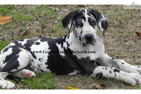 great dane puppies for sale in ga great dane puppy for sale near atlanta 355e687c 3711