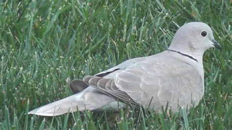 white grey mourning dove pigeon eurasian collared dove