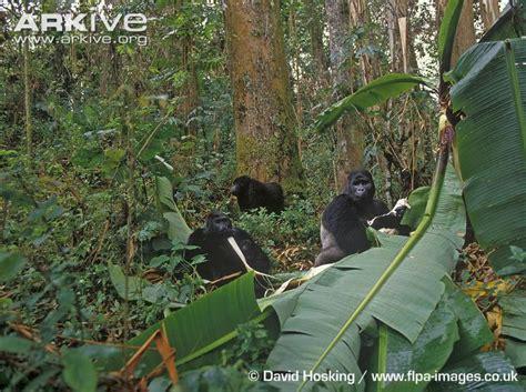 Pics For > Silverback Eastern Lowland Gorilla