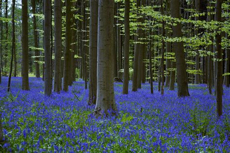 bluebell forest bluebell forest hallerbos near brussels belgium