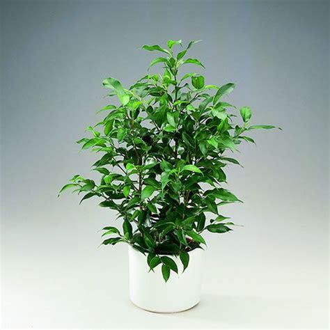 plantas altas de interior 6 plantas de interior resistentes al fr 237 o y al calor