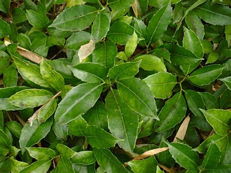growing  tetrastigma chestnut vine indoors