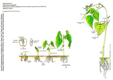 bean plant diagram botany lab help ex 15 angiosperms