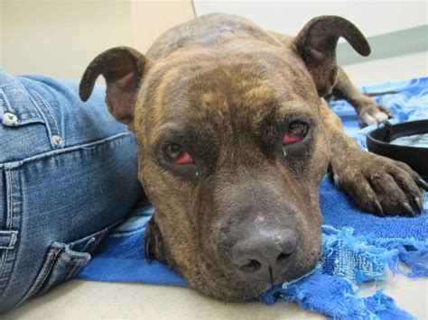 symptoms of antifreeze poisoning in dogs 2 year pit bull poisoned by antifreeze in virginia wtkr