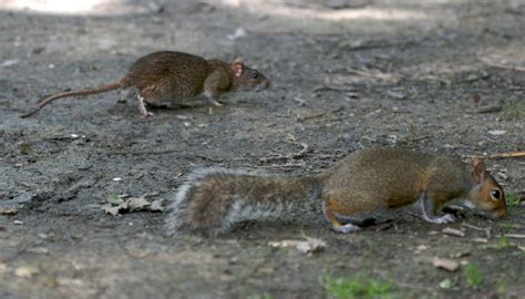 file rat and squirrel jpg wikimedia commons