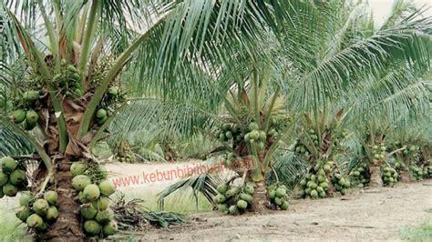 Bibit Kelapa Wulung Hibrida tanaman impian kelapa rendah sudah berbuah cara mudah