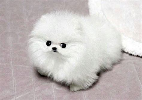 can all pomeranians look like boo 9 best images about boo the pomeranian on cutest dogs sheds and i want