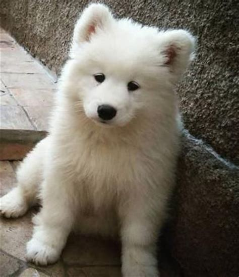 samoyed mix puppies for sale 17 best ideas about samoyed puppies for sale on samoyed puppies samoyed