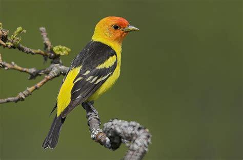 birds of vancouver island