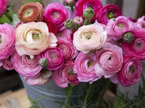 fiori ranuncoli i fiori da piantare in estate ranuncoli donna moderna