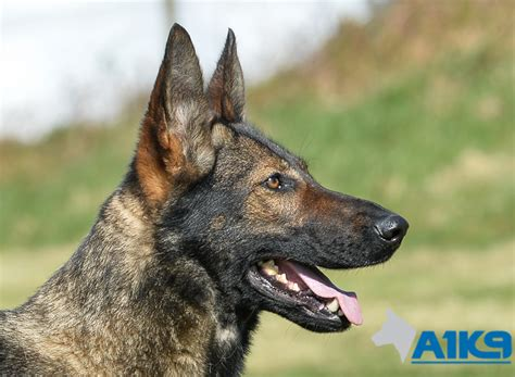 family guard dogs trained family protection dogs for sale bessy a1k9 family protection trainers