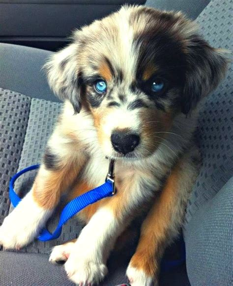 siberian husky mix golden retriever siberian husky golden retriever mix puppy puppies galore juxtapost m5x eu