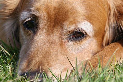sad golden retriever puppy sad golden retriever photograph by photos