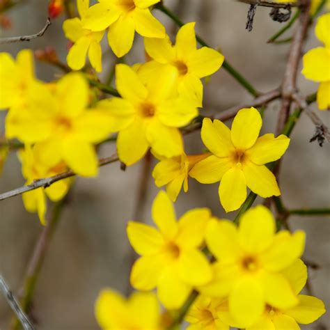winter jasmine plants  sale  nudiflorum