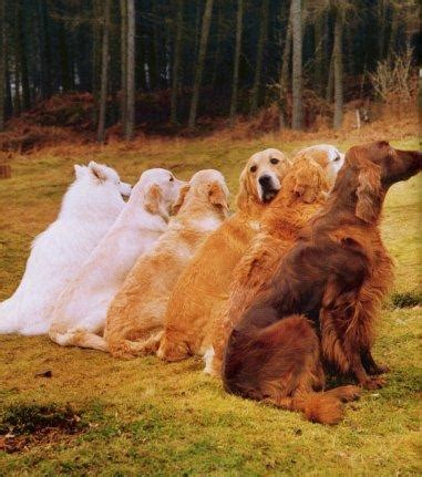golden retriever standards arangold s golden retrievers shelties our dogs