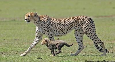 unique animals blogs: cheetahs cubs, tigers cubbs pics