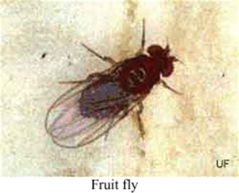 fruit fly infestation in bathroom public health pesticide applicator training manual flies