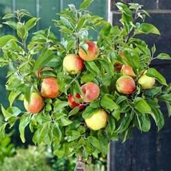 Patio Apple Trees by Patio Fruit Tree Compact Apple Braeburn Tree