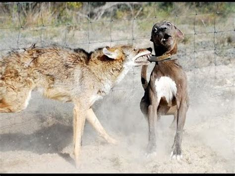 coyote vs vs coyote real footage compilation
