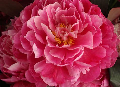 pink peonies blush floral design so long peonies