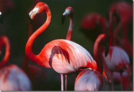 how do flamingos get their color runjun pink phobia in baby flamingos