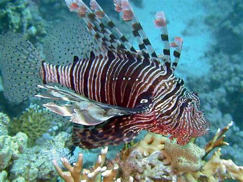 fish pictures scorpion fish pictures dwito wallpaper