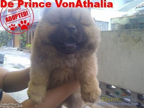 Jual Anakan Chow Chow Best Quality dunia anjing jual anjing chow chow jual anakan chow chow dan indukan