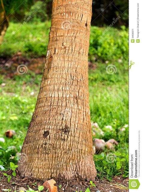 tree trunk l base coconut tree base stock image image of food growth