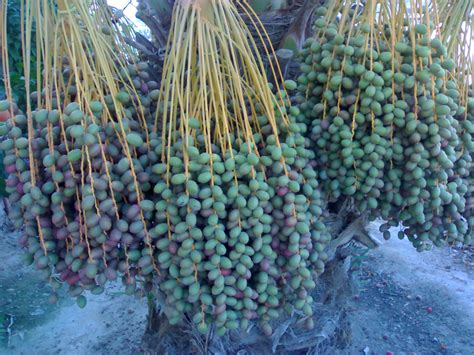 how to grow dates from june 2009 name is bond
